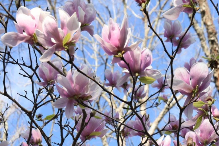 Best Time To Plant Deciduous Magnolias Secretgardencouk